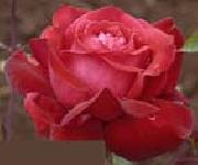 unknow artist Realistic Red Rose oil