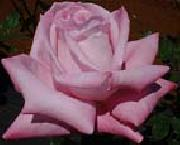 unknow artist Realistic Pink Rose oil